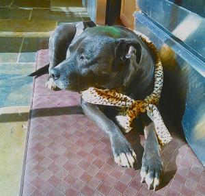 dog_shonie_elegant