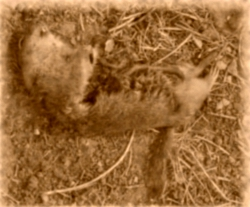 Sepia-toned photo of a very dead, gutted gopher.