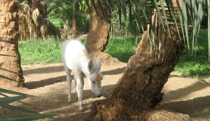 Very young white donkey grazing cutely under palm trees.
