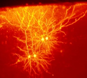 Mouse brain neurons, two pairs, stained flame yellow against red background
