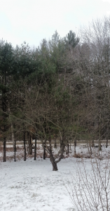 Snowy lawn, apple tree, row of pines behind apple tree, snowy road visible between trees, silvery cloudy sky above trees.