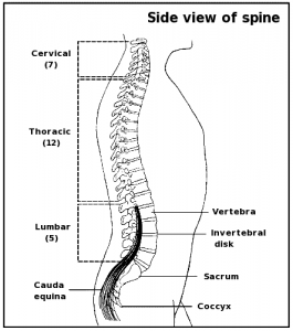 Line drawing of spine in a human frame.
