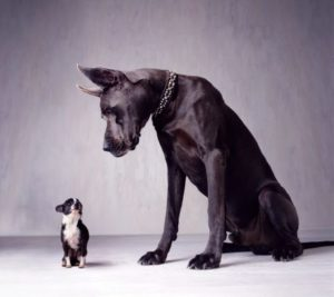 big great dane looking down at a little chihuahua
