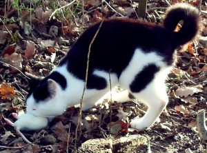 Pinto cat biting into white mouse on a lawn.